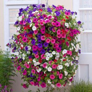chậu hoa dạ yến thảo