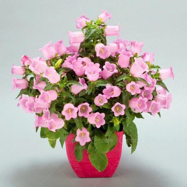 hoa chuông lùn