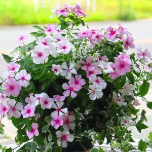 mẫu hoa dừa cạn