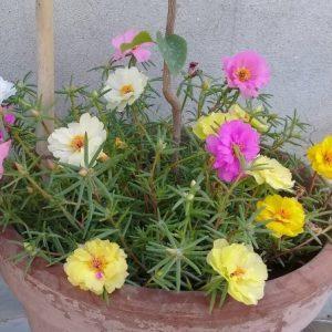 hoa mười giờ mỹ nhiều màu