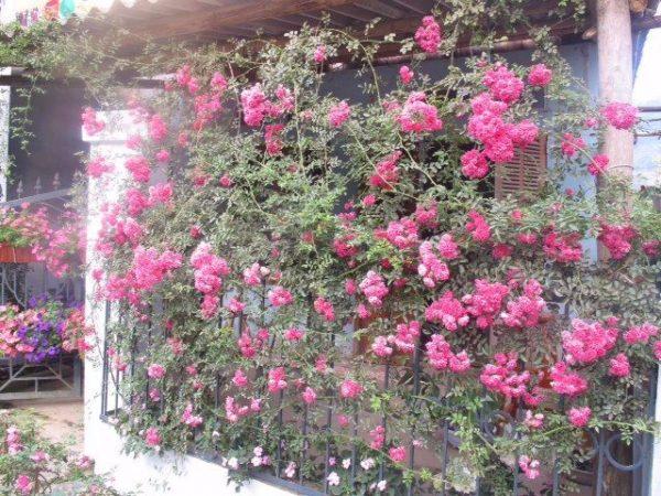 hàng rào hoa hồng leo Pháp